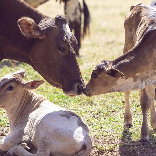 Farm4Trade-Manage brucellosis in farm animals