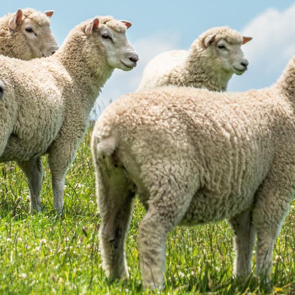 Liver fluke prevalence in sheep - Blog Farm4Trade