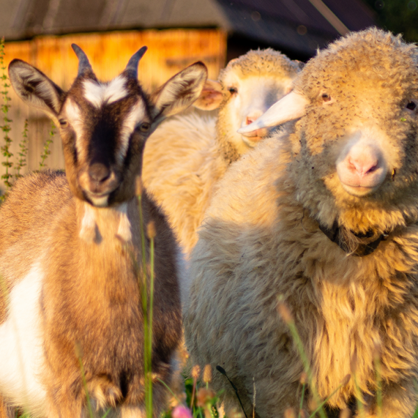 Gastrointestinal Parasites in Sheeps and Goats - Blog Farm4Trade