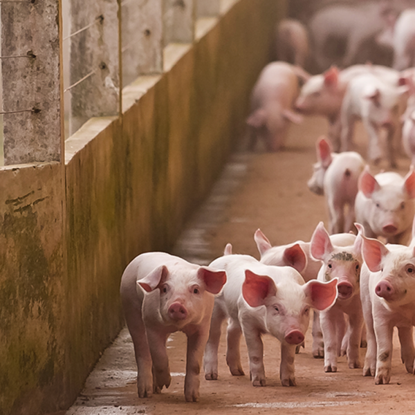 Biosecurity management on pig fams – Farm4Trade Blog