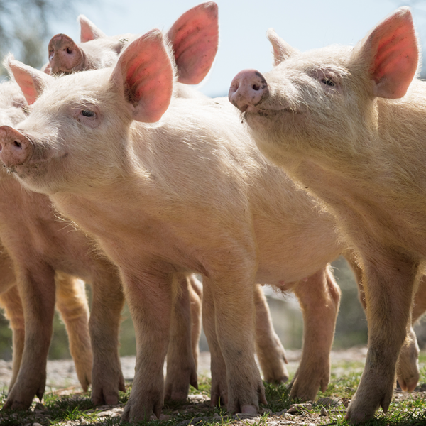 Outdoor pig production, some pros and cons – Farm4Trade Blog