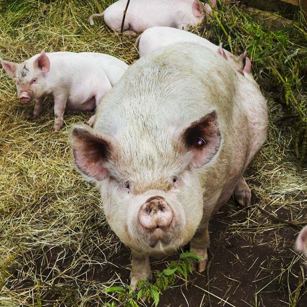 Some tips to successfully introduce breeding stock to your pig farm - Farm4Trade Blog